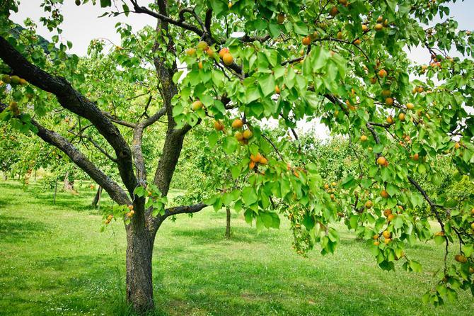 Почему не плодоносит абрикос - основные причины