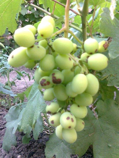 Почему виноград чернеет - как предупредить проблему