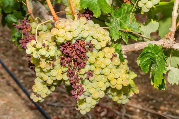 Почему виноград чернеет - как устранить причину заболевания