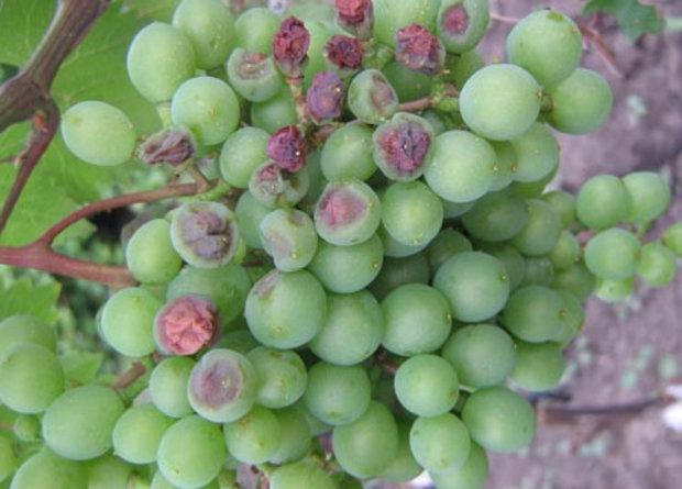 Почему виноград чернеет - опасные болезни винограда - бактериоз