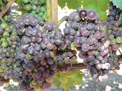 Почему виноград чернеет - признаки болезни