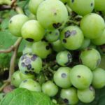 Почему виноград чернеет