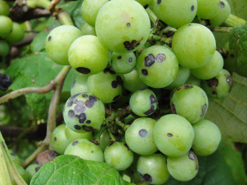 Почему виноград чернеет - заболевание Антракноз