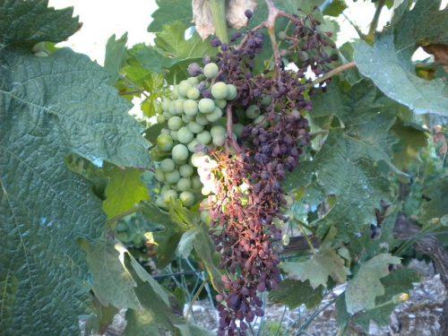 Почему виноград чернеет - заболевание милдью