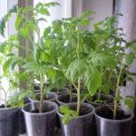 Почему вытягивается рассада помидор