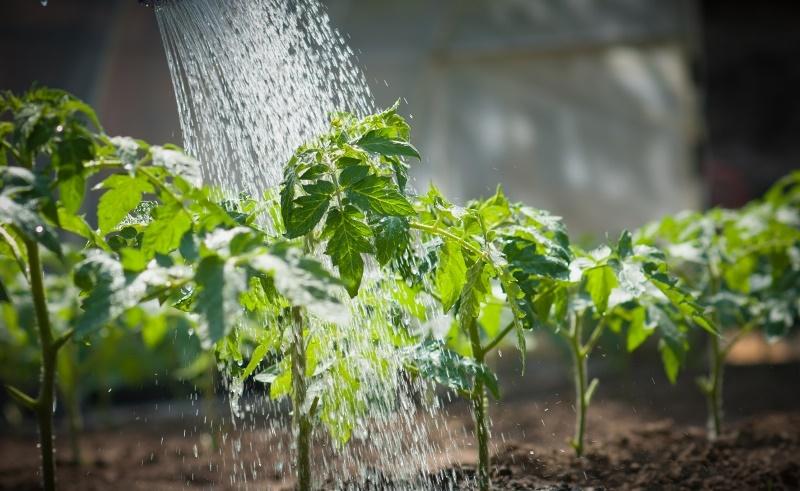 Почему вытягивается рассада помидор - несвоевременный полив