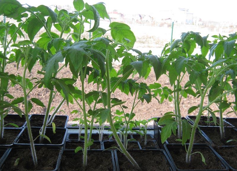 Почему вытягивается рассада помидор - основные причины и советы как исправить