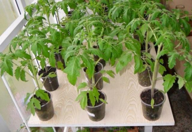 Почему вытягивается рассада помидор - отсутствие подкормки