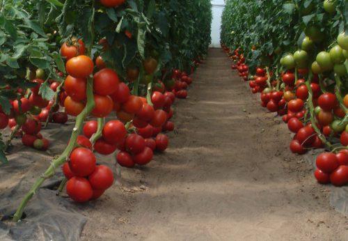 Помидоры Бобкат выращивание в теплице