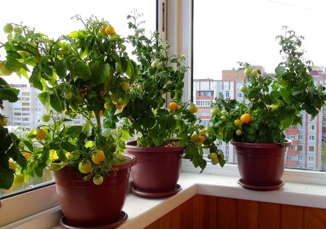 Помидоры черри в домашних условиях выращивание и сбор урожая