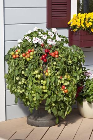 Помидоры черри в домашних условиях выращивание на балконе