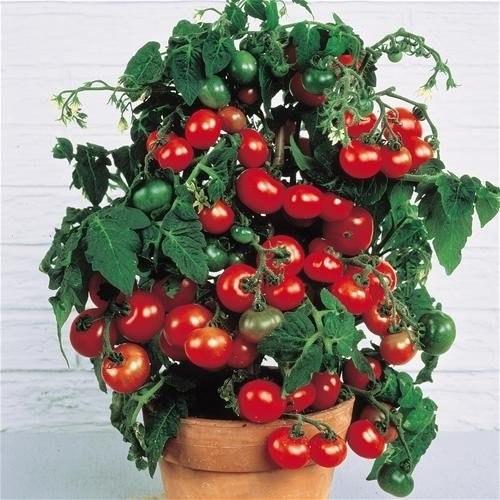 Помидоры черри в домашних условиях выращивание, посадка и уход
