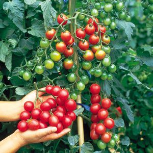 Помидоры черри выращивание в открытом грунте - особенности ухода за томатом