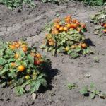 Помидоры черри выращивание в открытом грунте