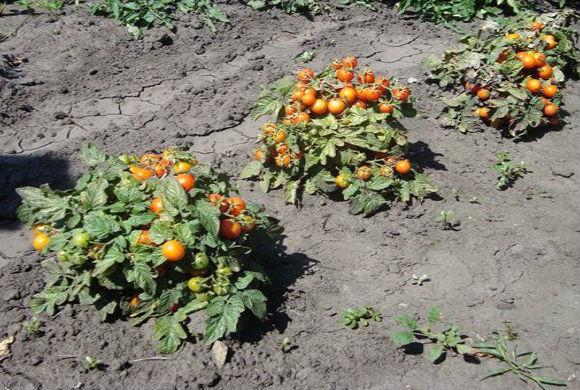 Помидоры черри выращивание в открытом грунте - правила агротехники