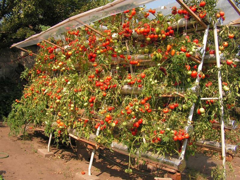 Помидоры черри выращивание в открытом грунте - соблюдение температурного режима