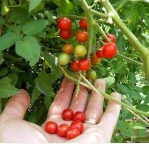 Помидоры черри выращивание в открытом грунте своими руками