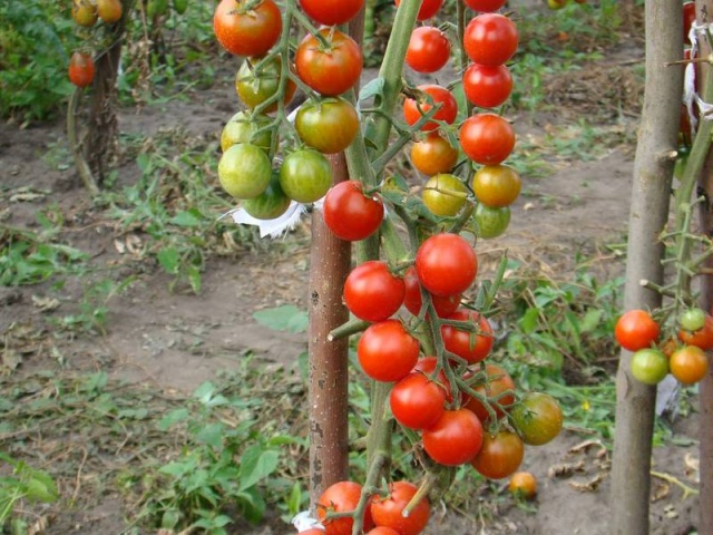 Помидоры черри выращивание в открытом грунте - защита от болезней и вредителей