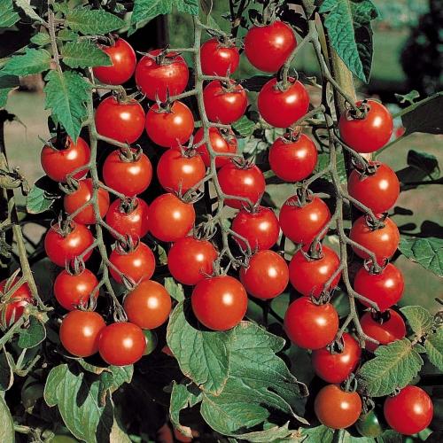 Помидоры черри выращивание в теплице - как получить вкусные томаты