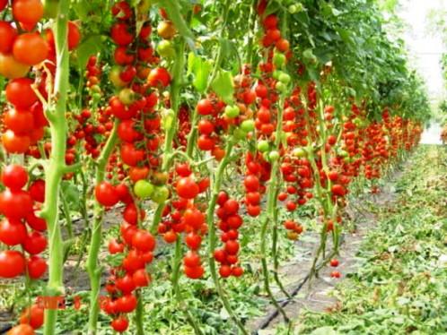 Помидоры черри выращивание в теплице круглый год