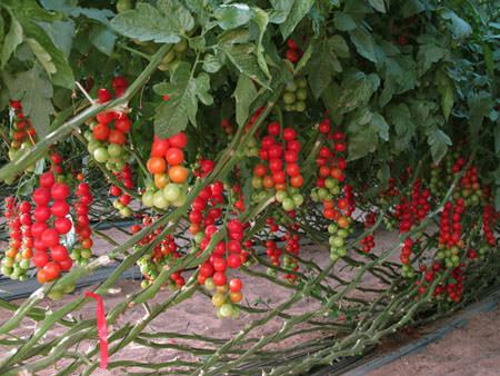 Помидоры черри выращивание в теплице - особенности посадки и ухода