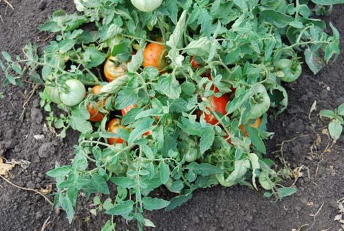 Помидоры монгольский карлик - как вырастить томаты на огороде