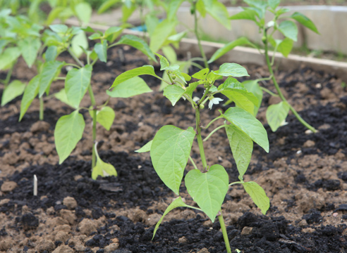 Посадка перца на рассаду - секреты опытных овощеводов