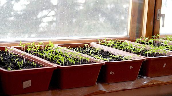 Посадка перца на рассаду - секреты выращивания полезного овоща