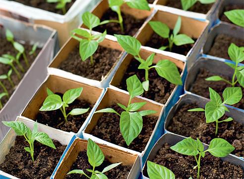 Посадка сладкого перца на рассаду - выращивание саженцев для высадки в открытый грунт