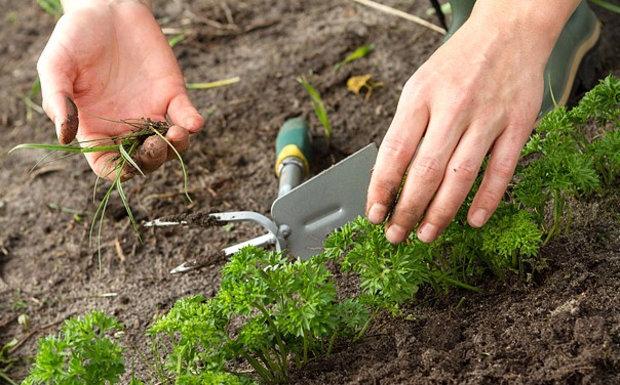 Посев петрушки в открытый грунт, прополка, полив