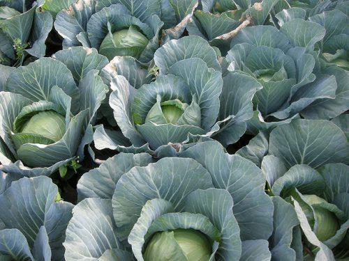 Позднеспелый сорт белокочанной капусты Атрия