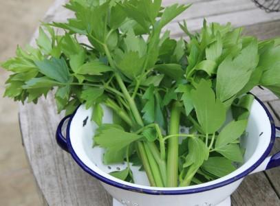 Пряное травянистое растение любисток выращивание и уход