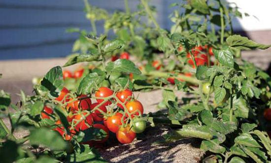 Раннеспелые и низкорослые помидоры сорта монгольский карлик