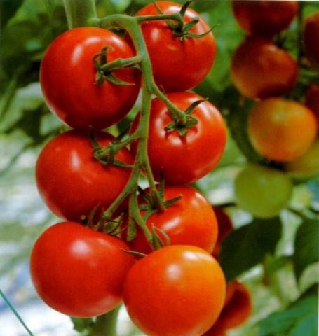 Раннеспелые помидоры дубок с отличным вкусом