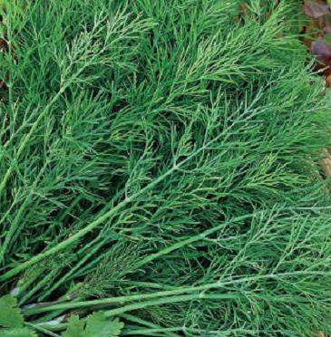 Раннеспелый сорт кустового укропа Аврора