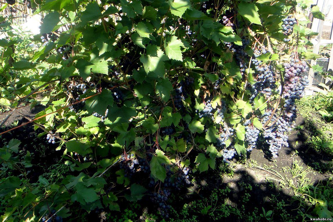 Ранний морозоустойчивый Виноград Зилга