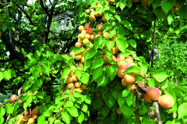 Раскидистые ветви дерева краснощекого абрикоса