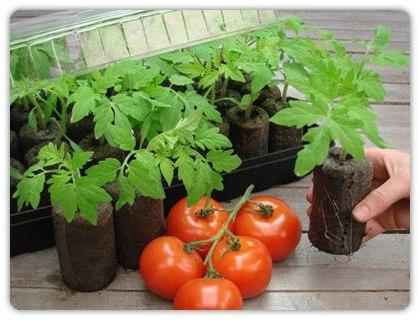 Рассада помидоров как ее вырастить дома