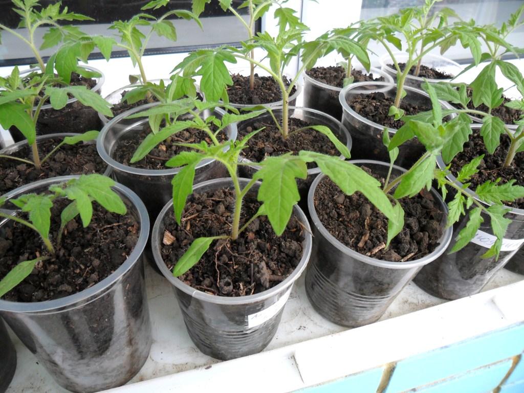Рассада помидоров как ее вырастить на подоконнике