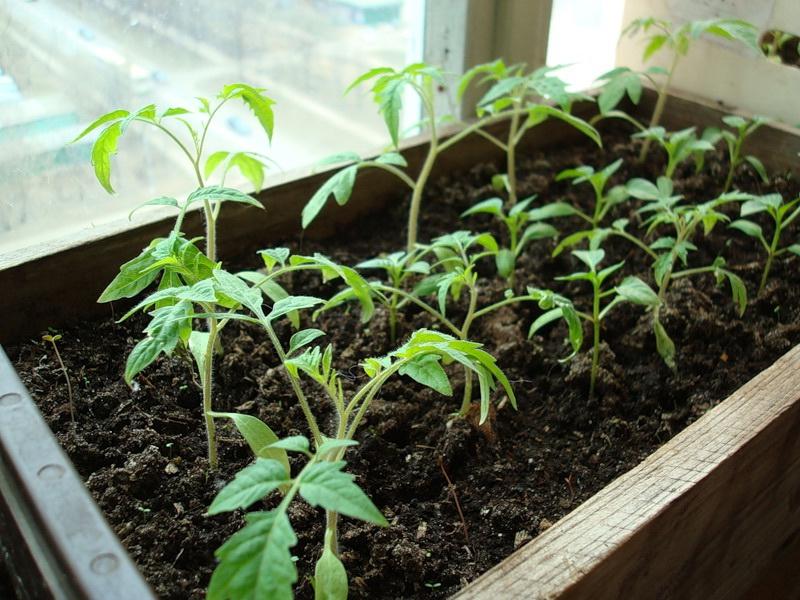 Рассада помидоров как ее вырастить - особенности технологии
