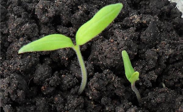 Рассада помидоров как ее вырастить - первые ростки помидор из семян
