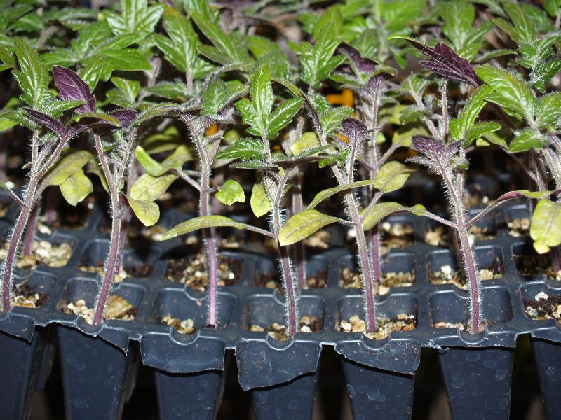 Рассада помидоров как ее вырастить в маленьких стаканчиках