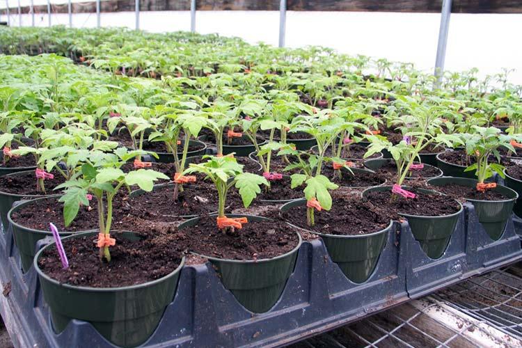 Рассада помидоров как ее вырастить в условиях теплицы