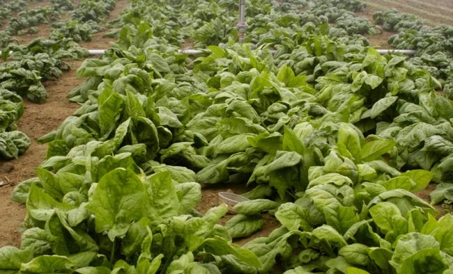 Шпинат выращивание из семян - советы опытных дачников
