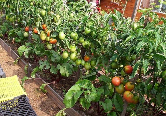 Штамбовый крупноплодный сорт помидор для дачи