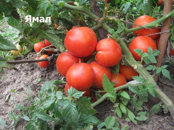 Штамбовый сорт помидор Ямал