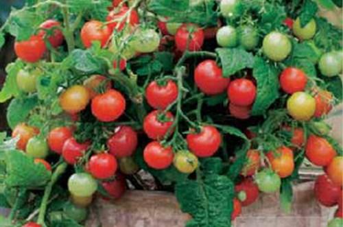 Штамбовый сорт помидор что это такое