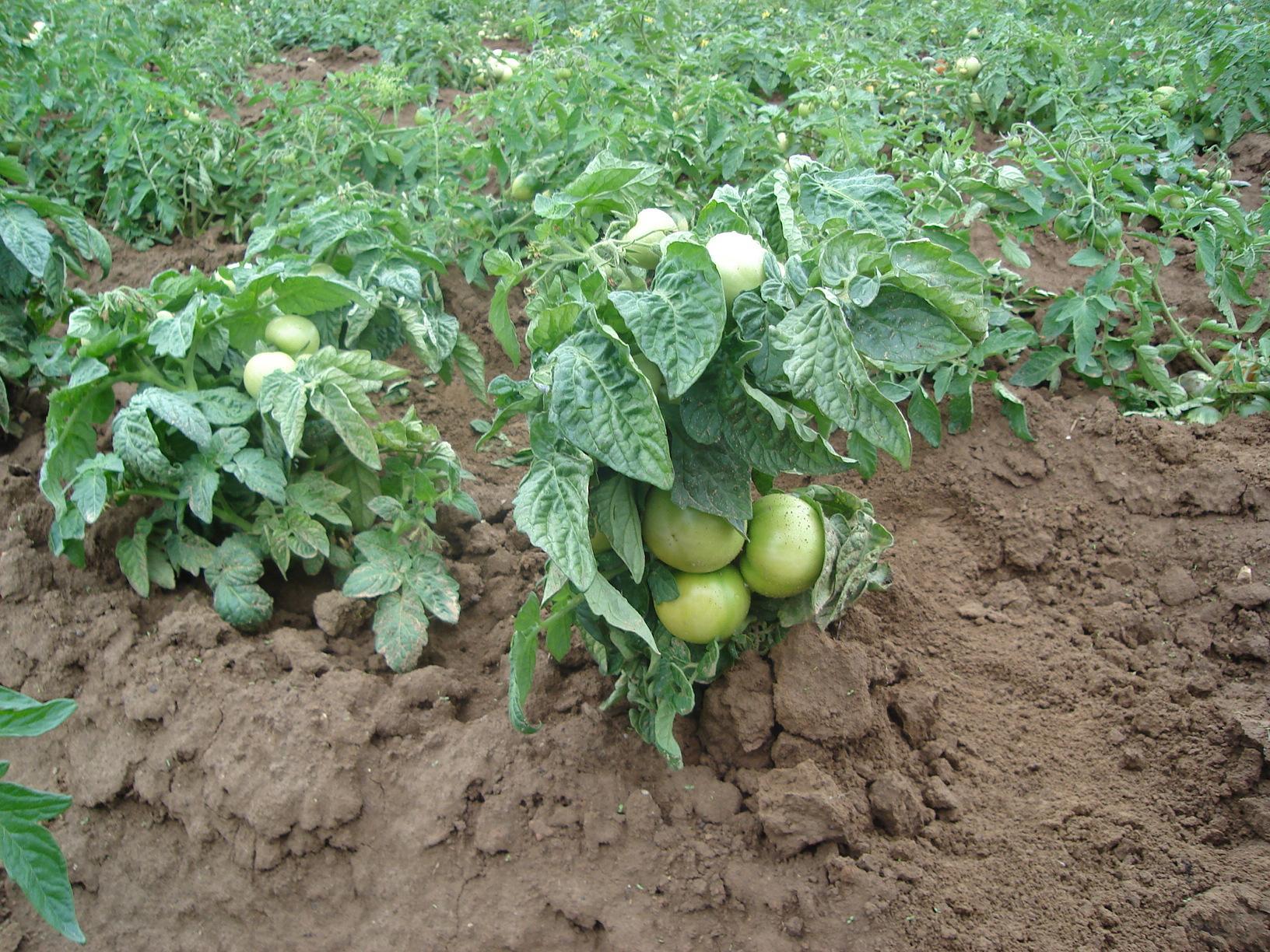 Штамбовый сорт помидор - низкорослые томаты