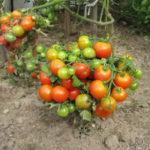 Штамбовый сорт помидор