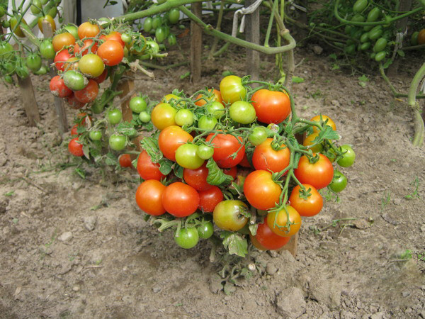 Штамбовый сорт помидор - скороспелые томаты